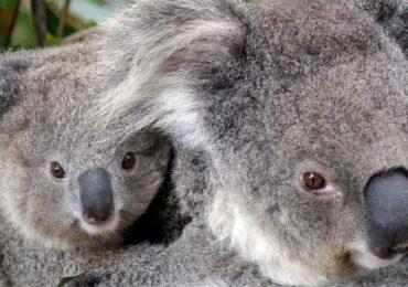 ავსტრალიაში ქლამიდიოზის საწინააღმდეგო პრეპარატით კოალების ვაქცინაცია დაიწყო
